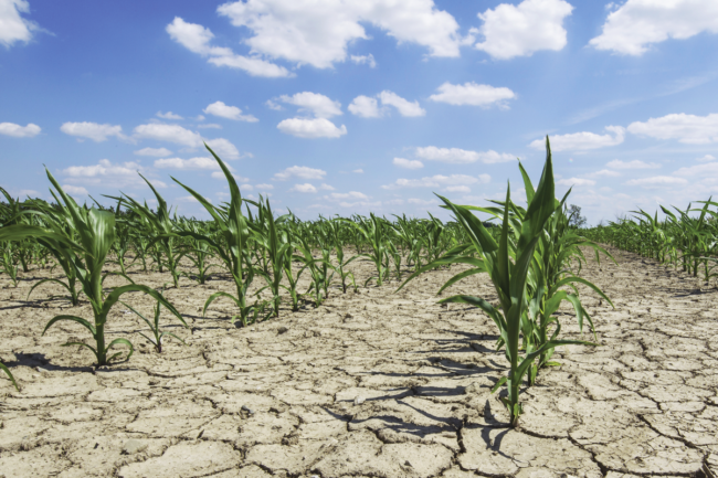 drought dry corn field