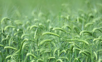 Barley adobestock 89413730 e