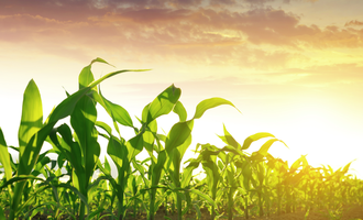 Corn field adobestock 159639252 e