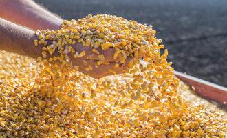 Corn adobestock 74243469 e