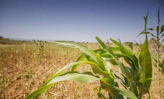 Fao corn field photo cred fao