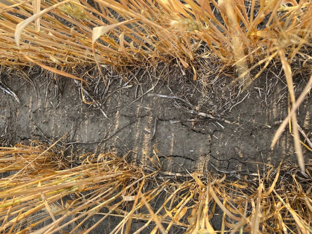 wheat affected drought