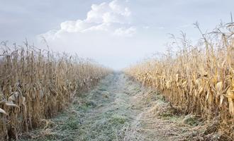 Corn frost adobestock 37803777 e