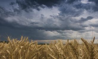 Wheat adobestock 219391966 e