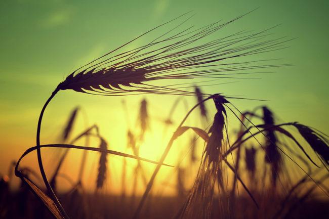 Barley_photo-cred-Adobe-stock_E.jpg