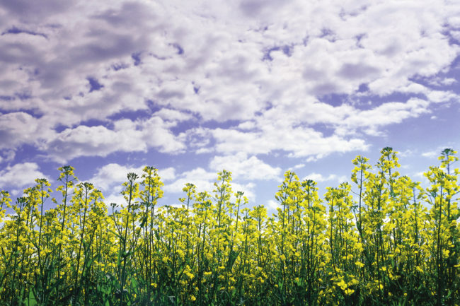 Canola crop affected by drought in Canada