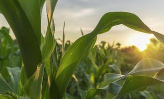 Corn field adobestock 273458288 e