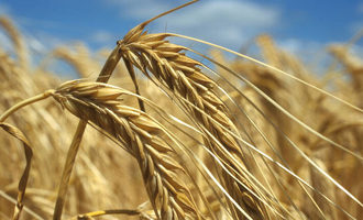 Fao barley growing in france photo cred fao
