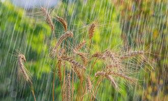 Wheat in rain adobestock 117530344 e