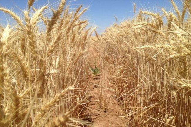 Wheat Quality Australia announces new Australian White Wheat milling class