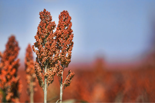 Sorghumplant lead