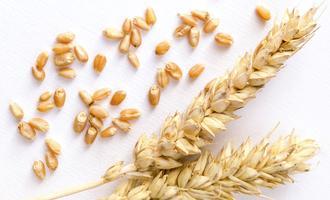 Wheat adobestock 102018277 e