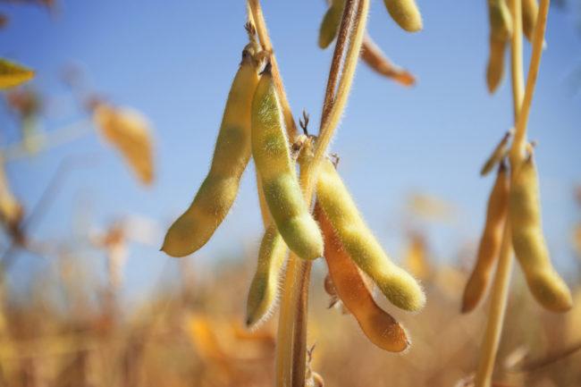 soybean_AdobeStock_285320860_E.jpg