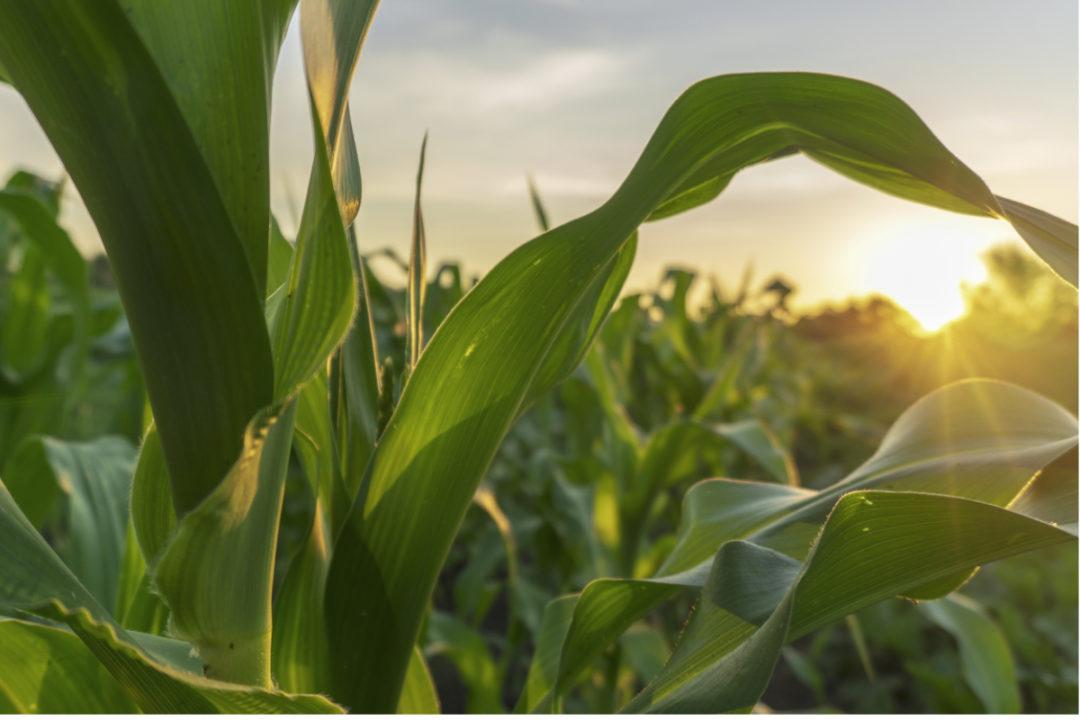 Brazil-corn.jpg