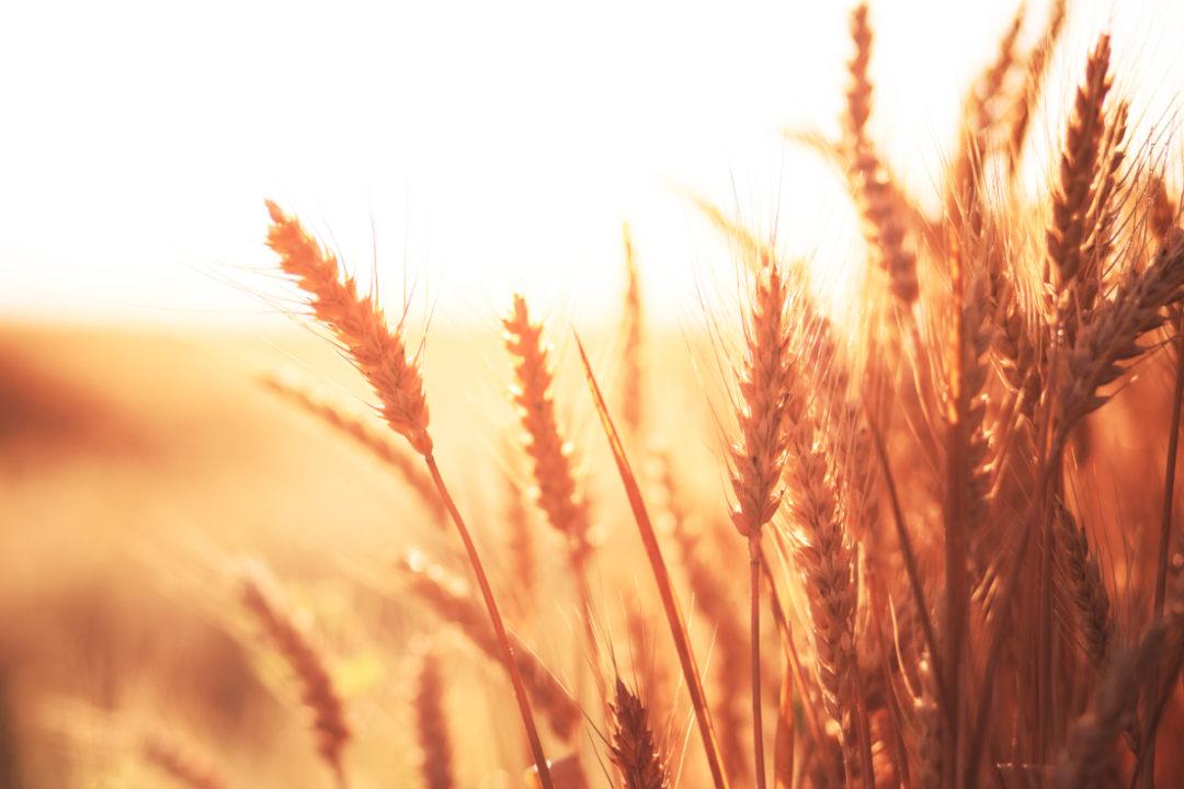Red-Wheat_photo-cred-adobe-stock_E.jpg