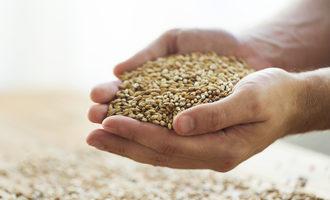 Russia wheat kernels