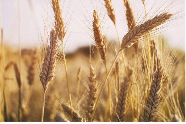Russian-wheat.jpg