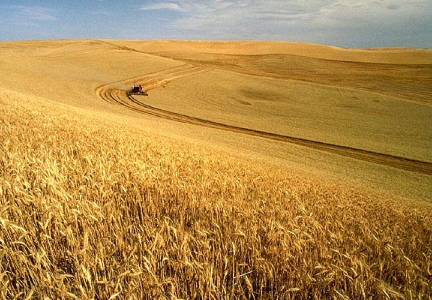 Image result for wheat production