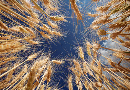 International Wheat Genome Sequencing Consortium